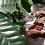 Arómade de café - Rancho de la Luna Minca